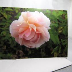 Pink Rose Greeting Card - Balboa Park Rose Garden, San Diego, California